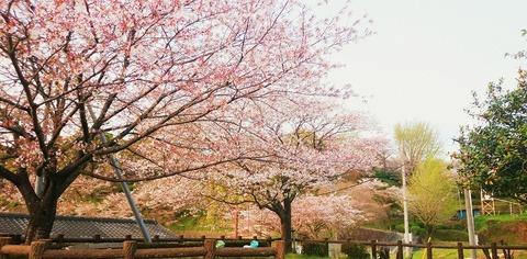 菊池公園桜